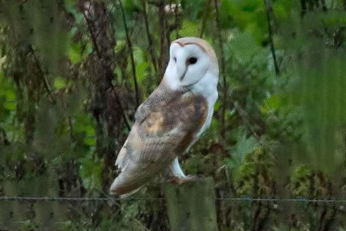barn-owl-in-south-norfolk